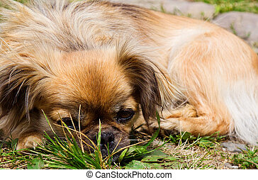 Pekingese dog is laying on a grass