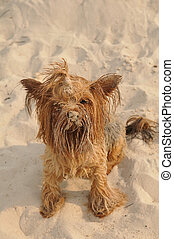 Cute yorkshire terrier portrait