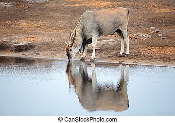 Eland antelope drinking water - Large male eland antelope...