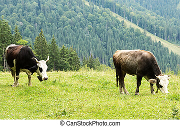 Two cows in the mountains - Cows with bells are grazing in...