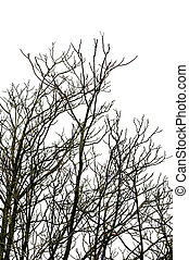 deciduous trees - Leafless deciduous tree branches on white...