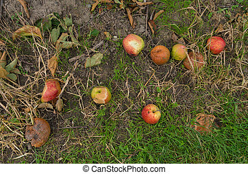rotting apples - fallen and rotting apples on the ground