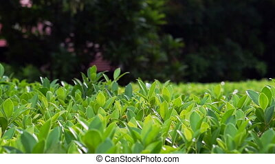 green hedge, bush nature background - Video of green hedge,...