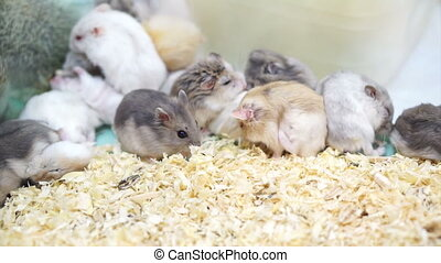 Hamsters playing and eating - Video of Hamsters playing and...