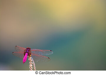 dragonfly - Pink dragonfly on dry stick against multicolor...