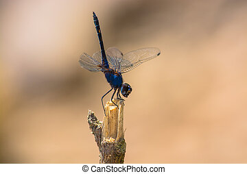 dragonfly - Blue dragonfly on dry stick against brown...