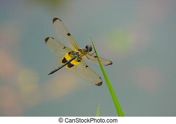 dragonfly - Yellow and chocolate wings dragonfly on grass...