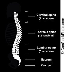 Backbone Black - Human backbone with names of the spine...