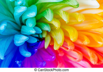 Colorful of rainbow Chrysanthemum flower, background texture...