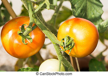 Growing Tomatoes - A branch of red and ripe tomatoes