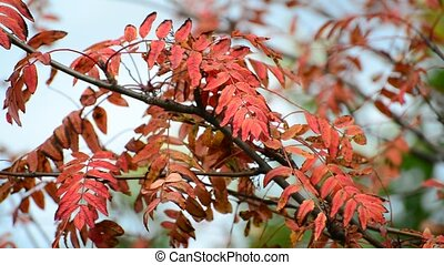red rowan leaves of autumn - A red rowan leaves of an autumn...