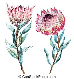 Watercolor tropical flower protea - Beautiful vector image...