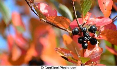 aronia autumn on a sunny day