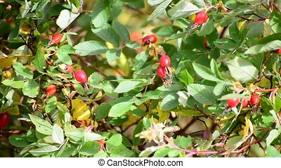 Red berries of wild rose in wind - Red berries of wild rose...