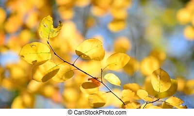 Beautiful yellow autumn leaves backlit - A Beautiful yellow...