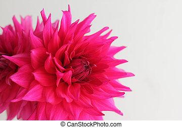 Single pink aster - beautiful single pink aster on white...