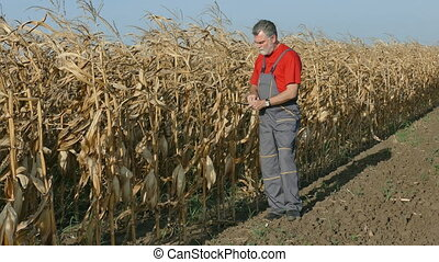 Farmer in corn field - Farmer or agronomist examine corn...