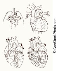 heart anatomy hand draw