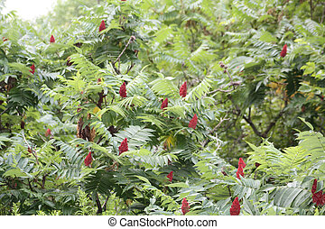 Staghorn Sumac is a deciduous shrub primarily found in the...