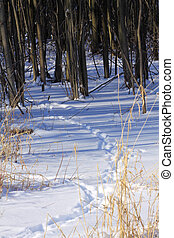 Animal tracks in snow - Animal tracks in the snow leading to...