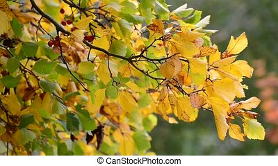 Hawthorn autumn with berries and yellow leaves