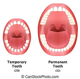 Permanent Temporary Teeth Compare - Comparison of temporary...