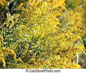 Goldenrod in full bloom - also a medicinal plant