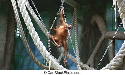 Red haired orangutan playing in zoo - Funny orangutan...
