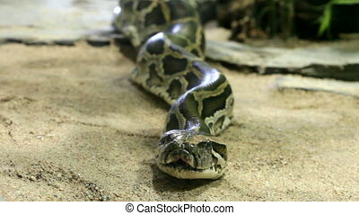 Reticulated python close up, zoom - Static reticulated...