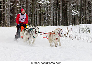 Sled Dog Race - dog team during the competition on the...