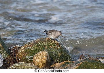 Purple SandpiperCalidris maritima - Purple Sandpiper...