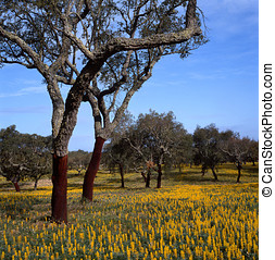 cork oaks - cork trees in southern Europe