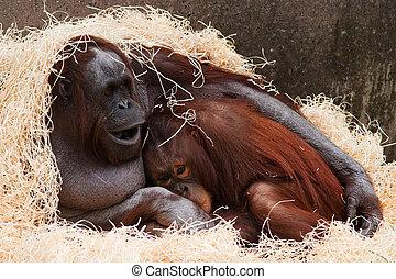 Orangutan - Two Orangutan keeping warm