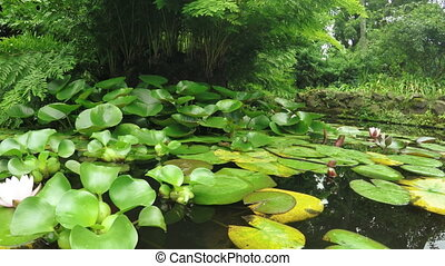 Water lilies in pond - Pond with fish and water lilies on it...