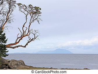 Arbutus Tree Reaching Out - An Arbutus tree reaching out off...