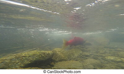 Wild Pacific Pink Salmon Spawning Clear Glacier Stream...
