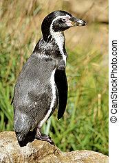 Humboldt penguin standing - Closeup Humboldt penguin...