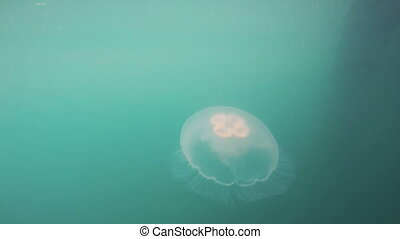 Bright White Jellyfish Reserrection Bay Alaska Sea Wildlife...