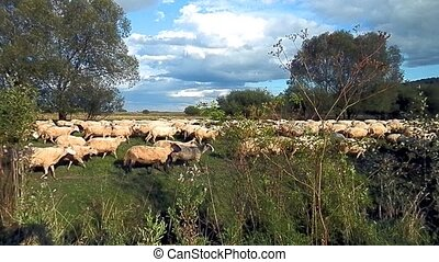 Surprise-herd sheep in tourism - Sheep herd surprised at the...