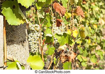 otoño, soleado, viñas, cosecha