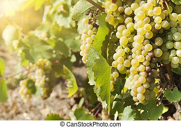 viñas, en, soleado, otoño, cosecha,