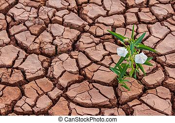 Small white flower plant growing in dry soil with hand -...