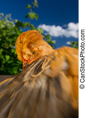 Dancing Crested Chicken with Spread Wing - A close-up of a...