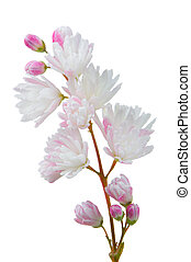 Deutzia Scabra Flowers on White Background - A close-up of...
