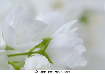 Romantic White Jasmine Flowers - A macro shot of romantic...