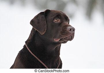 Black labrador portrait outdoor - Brown labrador portrait...