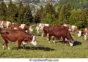 Cows grazing in the Alps French - Closeup of brown and white...