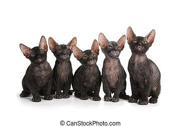 gatitos, sentarse, aislado, negro, cinco, blanco,  sphynx