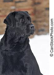 Black labrador portrait outdoor in winter