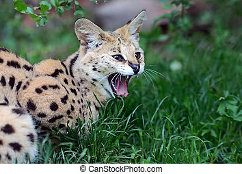 Serval Wild Cat in the African savanna